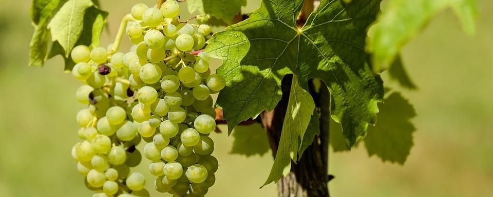 Juhfark szőlő