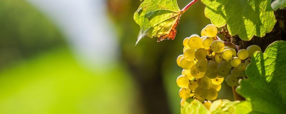 Irsai Olivér szőlő