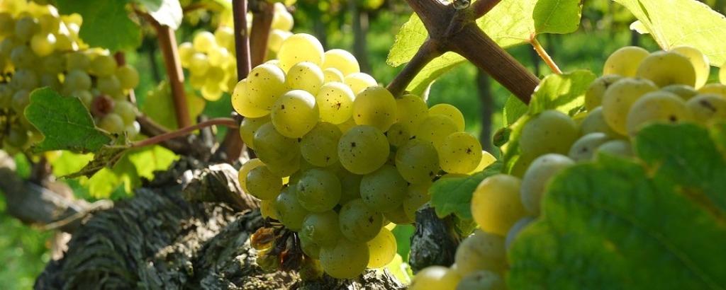 Chardonnay szőlő