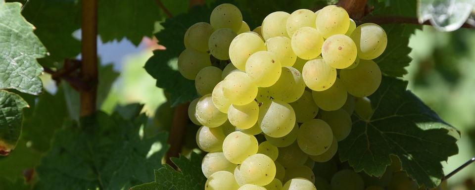 Ottonel Muskotály szőlő