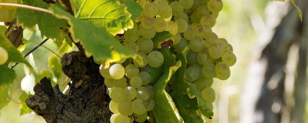 Királyleányka szőlő