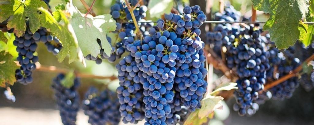 Syrah szőlő